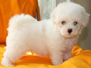 maltese puppy price in delhi