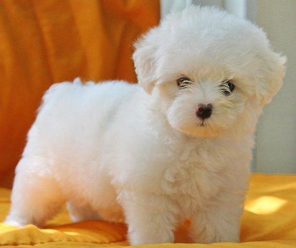 maltese puppy for sale in delhi