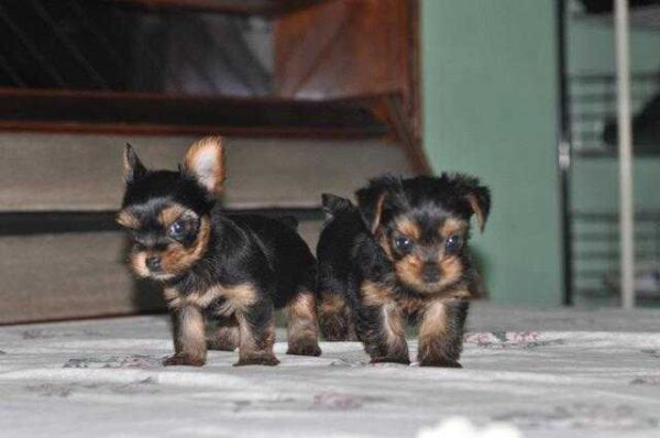 Yorkshire terrier puppies price in Delhi