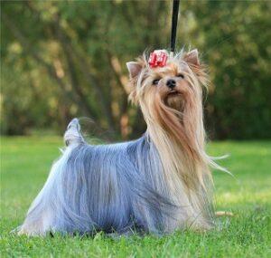 yorkshire terrier puppy price in delhi