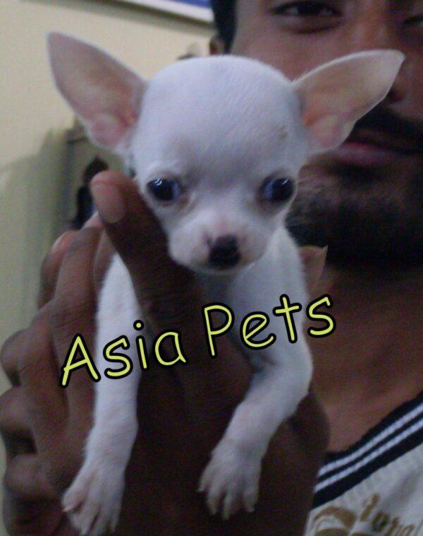 White chihuahua puppy for sale in delhi