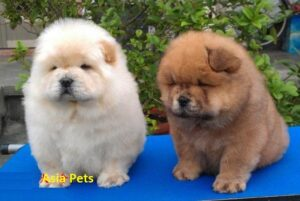 chow chow puppy for sale