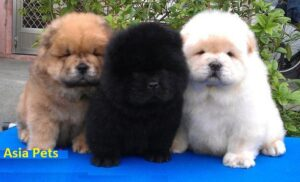chow chow pup price in delhi