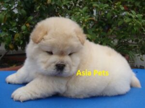 Chow chow puppy for sale in delhi