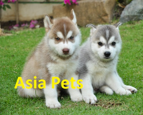 Siberan Husky puppy for sale in delhi