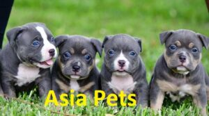 American Bully Puppy Price in Delhi