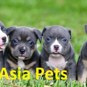 American Bully Puppy Price in Delhi