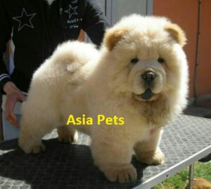 chow chow pup price in delhi ncr