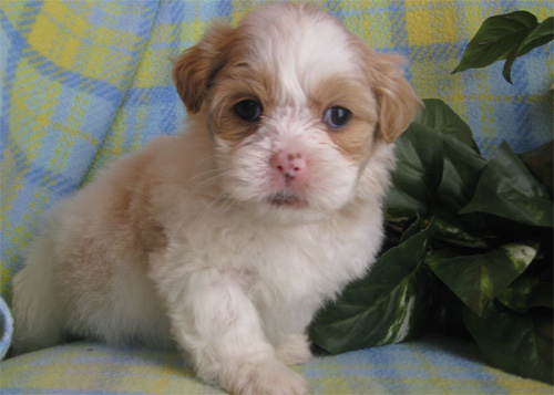 Lhasa Apso Puppy For Sale in Delhi