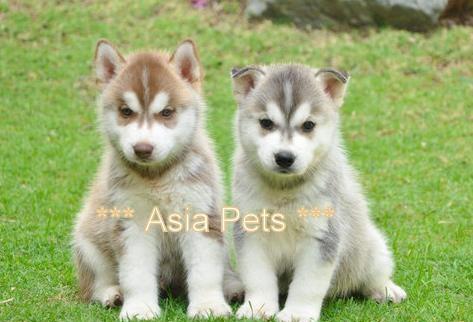 Siberan Husky puppy for sale in delhi