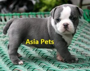American Bully puppy for sale in Delhi
