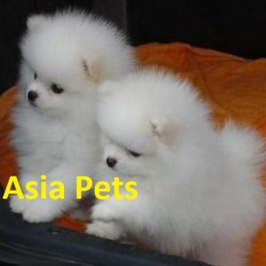 Toy Pom puppies for sale in Delhi Ncr