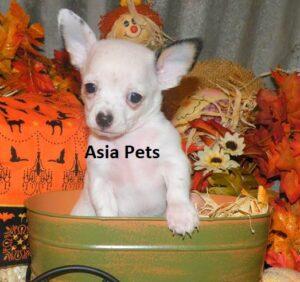 chihuahua puppy for sale in delhi
