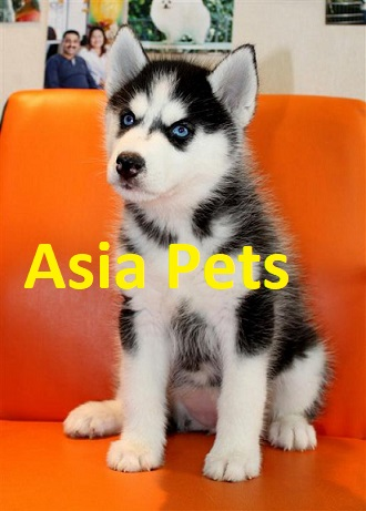 Black color Siberian husky puppy for sale in delhi