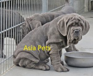Neapolitan Mastiff Puppies