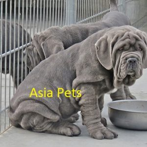 Neapolitan Mastiff Puppies