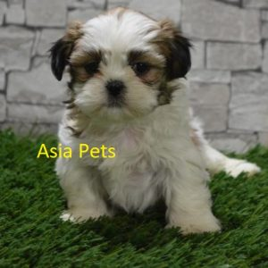 Shih Tzu Puppy for sale in Delhi