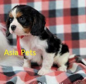 Cavalier King Charles Spaniel puppy in Delhi