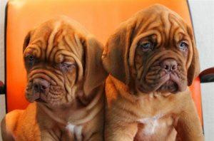 French mastiff puppy for sale in Delhi