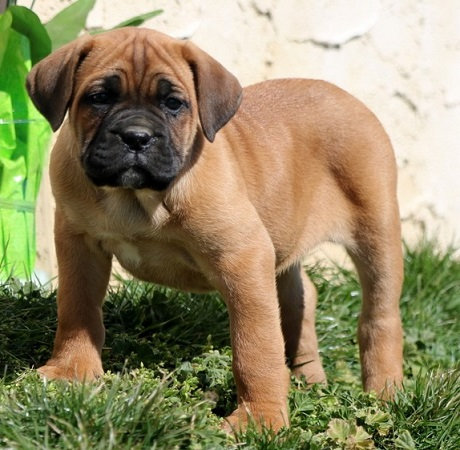cane corso puppy price in delhi