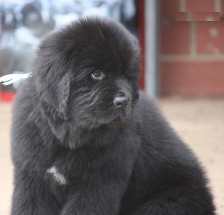 newfoundland puppy for sale in delhi