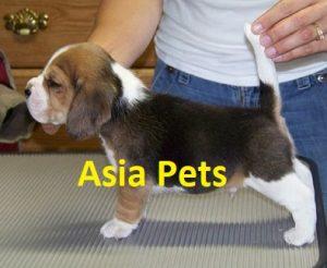 beagle in gurgaon