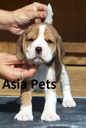 beagle puppy for sale in gurgaon