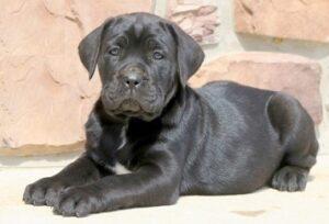 cane corso puppy for sale in delhi