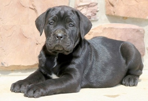 cane corso puppy for sale in delhi