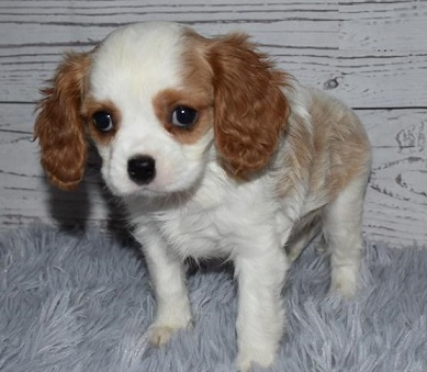 Cavalier King Charles Spaniel Dogs and Puppies For Sale in Delhi
