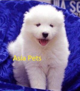 samoyed puppy price in delhi