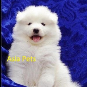 samoyed puppy for sale in delhi