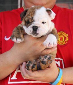 English Bulldog puppy for sale in mumbai