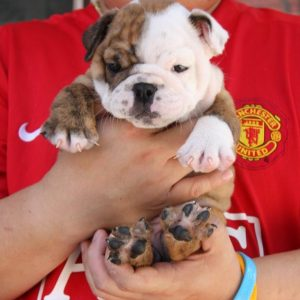 English Bulldog puppy for sale in mumbai
