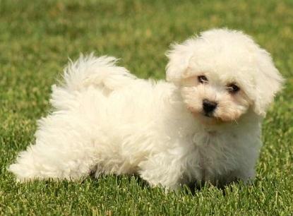 Bichon frise puppy price in india