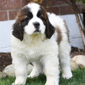 Saint Bernard Puppy in Delhi