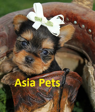 Yorkshire terrier Puppy For Sale in Mumbai