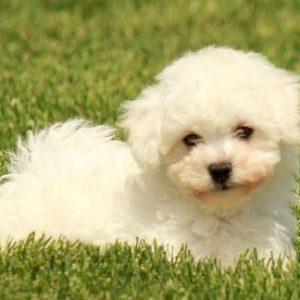 bichon frise puppy in india
