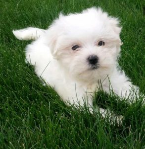 Tea Cup Maltese puppy price in Mumbai