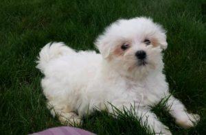 Maltese puppy for sale in Mumbai