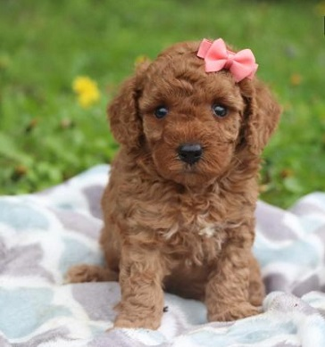 Poodle puppy for sale in Mumbai