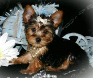 yorkshire terrier puppy price in mumbai
